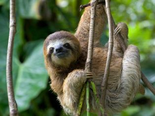 three-toed-sloth_10965_600x450